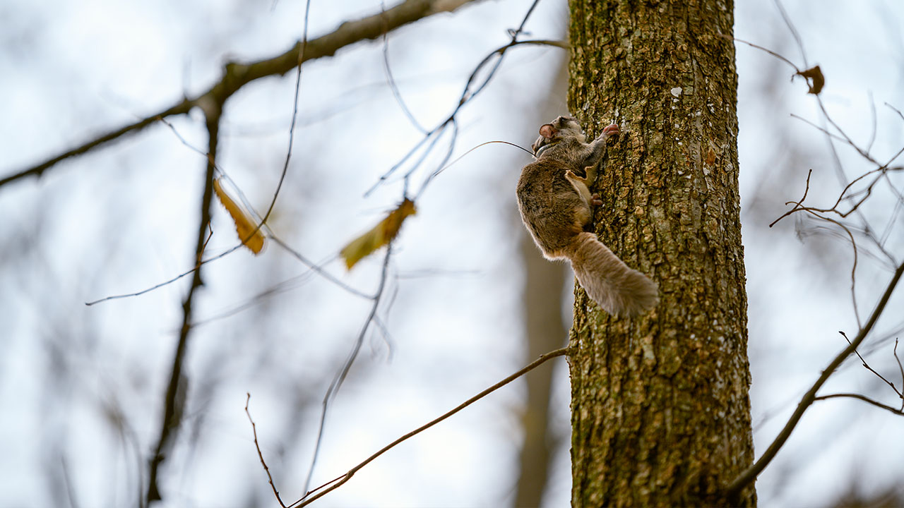 Flying squirrel research